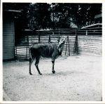 Danskt_djurparksdjur_1953